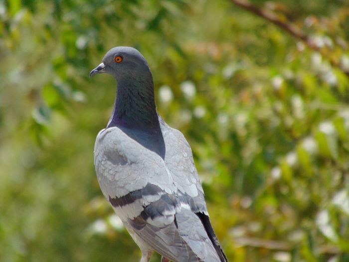 Pigeon Bird Feather  Close-up