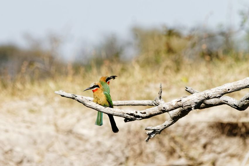Catching Insects Eating Insects Bee-eater White-fronted Bee-eater Merops Bullockoides Namibia Caprivi Africa Okovango Okovango River Cubango River EyeEm Selects Perching Bird Branch Spread Wings Portrait Animal Themes Close-up Insect Bug Tail