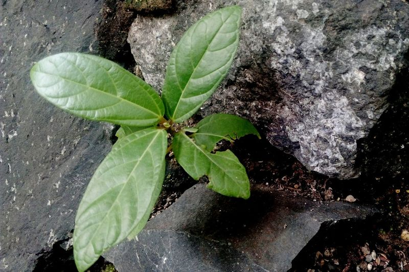 Plant on Rock Texture Rocks Stone Background SSClickPics SSClicks SSClickpix Ssclix Mobilephotography Water Leaf High Angle View Close-up Plant Green Color Young Plant