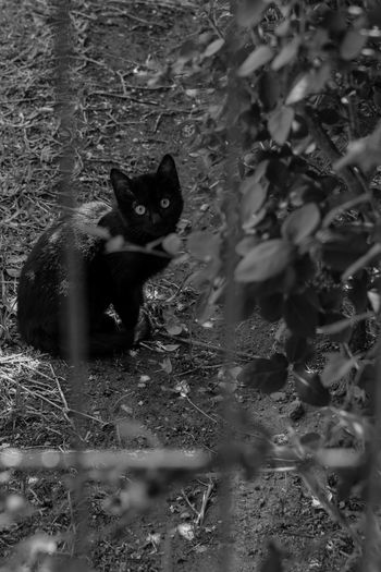 Alertness Animal Themes Black Cat Cat Feline Lonely Cat Looking At Camera Nature No People One Animal Outdoors Portrait Sitting Waiting Pets