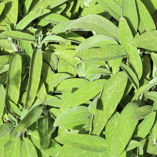 big leaves of Sage in the herb garden Cuisine Freshness Green Color Herb Mediterranean  Mediterranean Food Napoli Palermo Sage Sicily Aromatic Aromatic Herb Aromatic Herbs Background Backgrounds Campania Garden Leaf Leaves Nature_collection Officinaliis Herb Officinalis Sage Leaf Sage Leaves Spice
