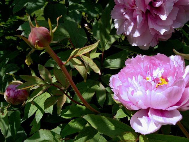 Garden Flowers Peonies Beauty In Nature Close-up Flower Flower Head Flowering Plant Garden In Spring Inflorescence Light And Shadow Nature Peony  Petal Pink Color Springtime