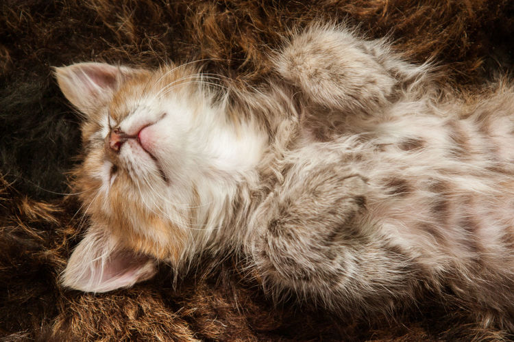 A cute tricolor kitten sleeping on a fur blanket Cat Domestic Domestic Animals Kitten Mammal One Animal Pets Sleeping