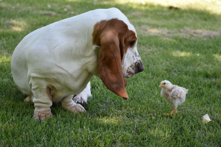 Dog And Baby Chicken On Grassy Field