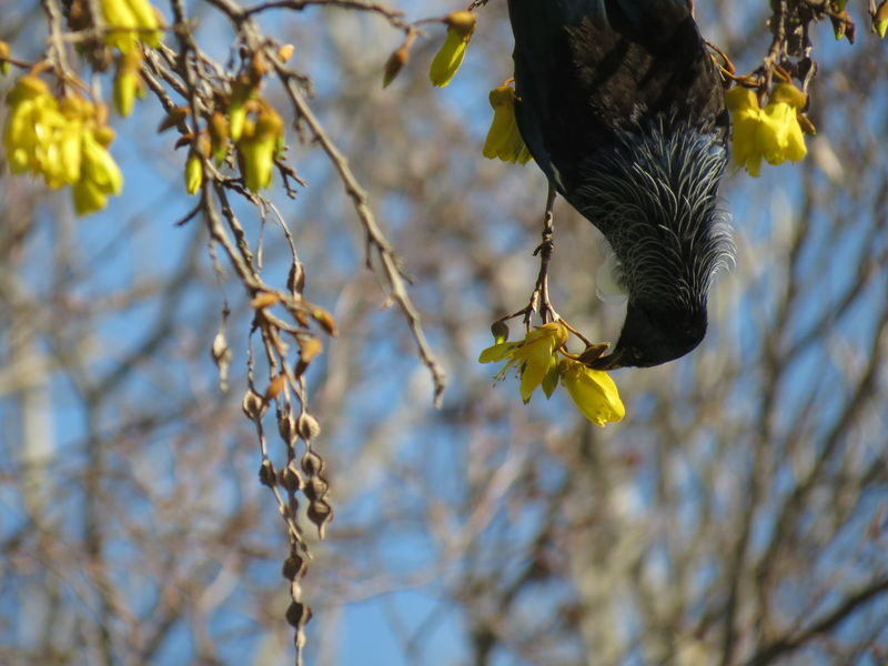 EyeEm Selects Animal Wildlife Branch Animals In The Wild Nature Focus On Foreground One Animal No People Outdoors Day Flower Beauty In Nature Perching Close-up Bird Animal Themes Paint The Town Yellow Nz Native Bird Tui Springtime Freshness Kowhai Colour Flora Sunshine