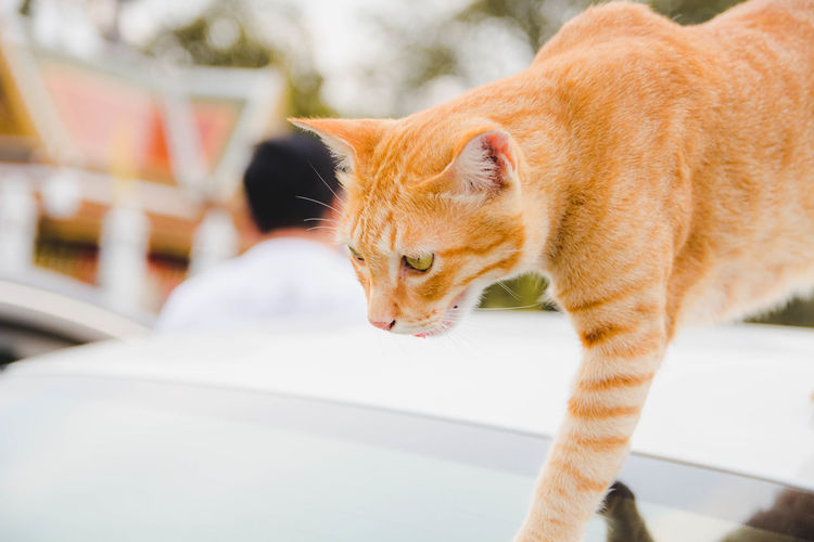 Cat walking on car roof