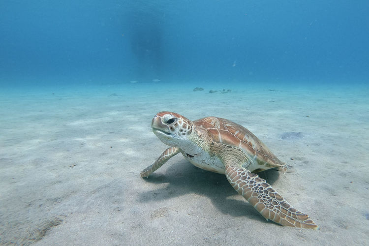 Turtle swimming in sea