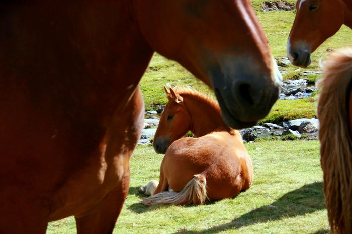 Young foal surrounded by adult horses, resting on grass field . Foal In Field Animal Family Animal Themes Domestic Animals Farm Animal Field Foal Foal Resting Grass Herbivorous Horse Livestock Mammal Togetherness Young Animal The Week On EyeEm Pet Portraits Been There. Done That.