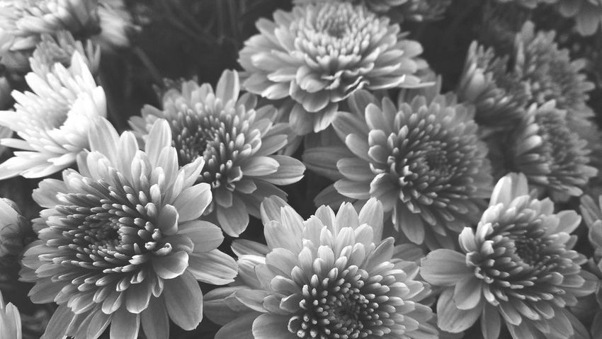 Flower Fragility Beauty In Nature Petal Flower Head Freshness Nature Close-up Chrysanthemum No People Dahlia Outdoors Day Old-fashioned Nature Beauty In Nature Low Angle View Portrait Indoors  Looking At Camera Vidage