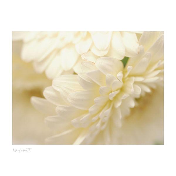 ガーベラホワイト Flower Nature White Background Olympus Memories Japan 東京 日本 White Flower Beauty In Nature Olympus OM-D E-M5 Olympus Photography Playground Olympus倶楽部 Japan Photography ガーベラwhite City Life