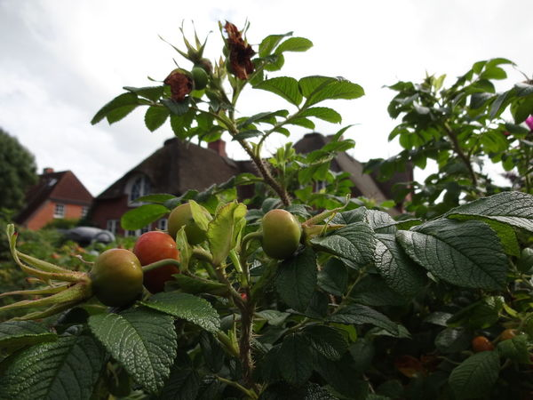 Fruit Growth Freshness Green Color Tree Outdoors Nature Close-up Sky North Sea Nordsee Föhr Landscape Typical Houses Typical House Architecture Hagebutten Hip Dog Rose The Week On EyeEm Reed Freshnesss