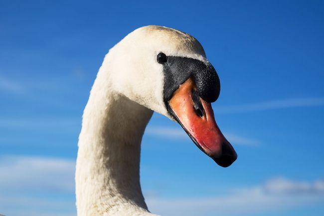 Hello World Lovely Weather Beautiful Day Bird Photography Nature Swan Mute Swan Eyem Birds EyeEm Nature Lover EyeEm Birds