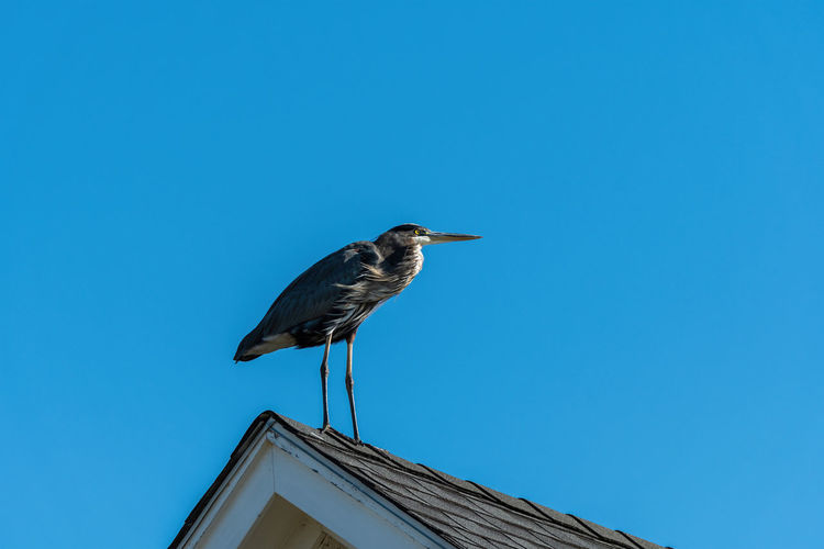 Low angle view of bird perching on roof against blue sky