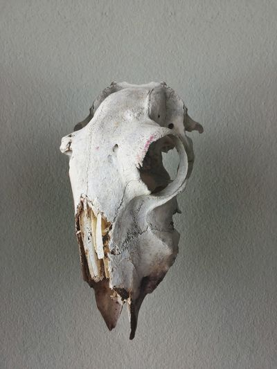 Close-up of animal skull
