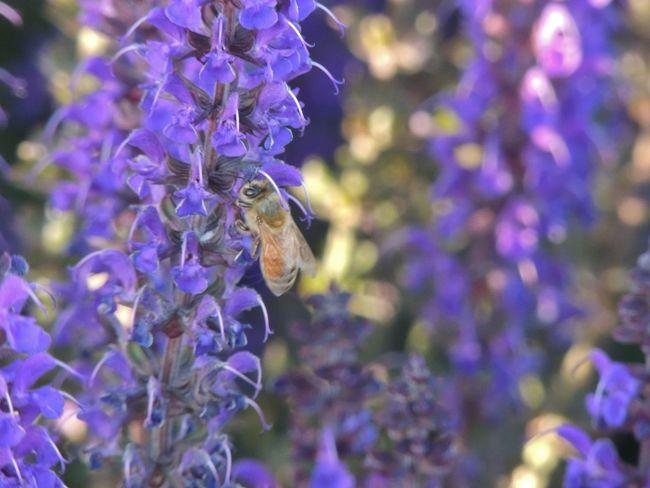 Bee 🐝 Bee Bee And Flower Bee On Flower Buzz Buzzed Purple Flower Wings