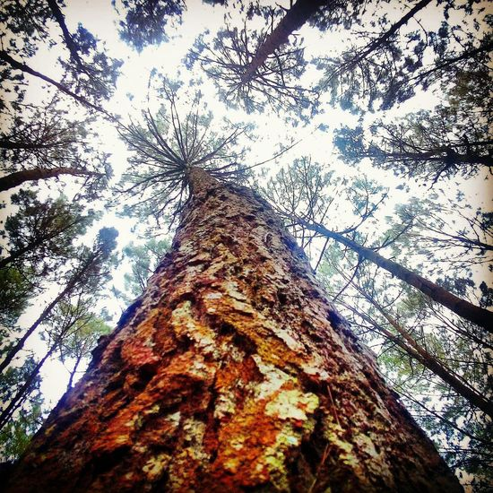 Tree Beauty In Nature Pinetrees Pineforest Pine Pinewood Forest Photography Forest Tree Canopy  Forest Park Forest Trees Outdoors Taking Pictures The Great Outdoors - 2016 EyeEm Awards EyeEmBestPics EyeEm Best Shots The Week Of Eyeem TakeoverContrast Dramatic Angles Hello World