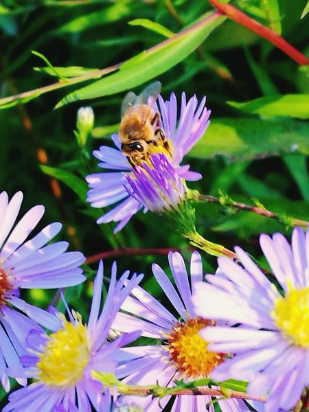 Flower Purple Nature Animal Themes Beauty In Nature Fragility One Animal Insect Petal Animals In The Wild Flower Head Growth Plant Pollination Freshness Wildlife Animal Wildlife Outdoors Bee Symbiotic Relationship Bee 🐝 Flowers 🌸🌸🌸