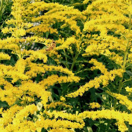 Color Palette Flower Collection Goldrute Golden Hour Gold Biene Bee Goldrausch Solidago Heilkräuter Goldenrod Medicinal Plant Medicinalherbs Blumen Im August