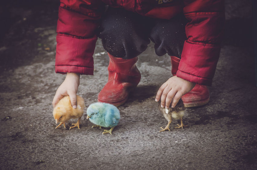 Boots Chicks Children Cute Pets Friends Red Animal Animal Themes Bird Birds Chick Child Childhood Children Playing Colored Birds Colored Chicks Cute Dyed Chicks Fluffy Jacket Pet Pets Play Playing Release