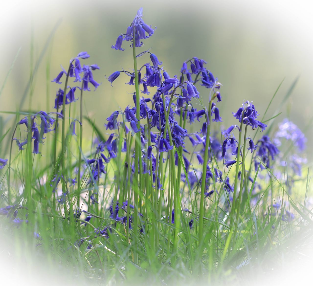 flower, plant, flowering plant, vulnerability, fragility, beauty in nature, freshness, growth, selective focus, close-up, purple, nature, no people, petal, inflorescence, day, flower head, outdoors, plant part, green color, lavender