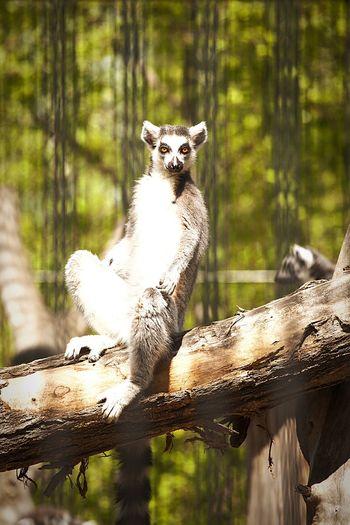 Portrait of lemur sitting on tree in zoo
