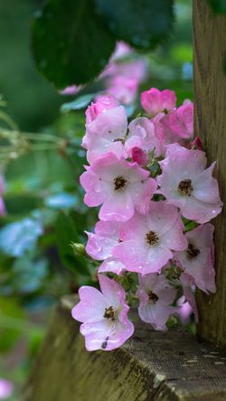 Flowerporn Ballerina Roses Good Morning! In My Garden Flowers Planar 85/1.4 Old Rose
