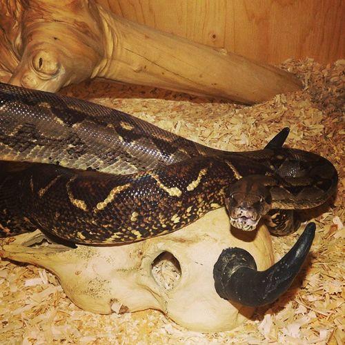 Nagini Boa Snakesofinstagram Snake snakeface snek reptilesofinstagram