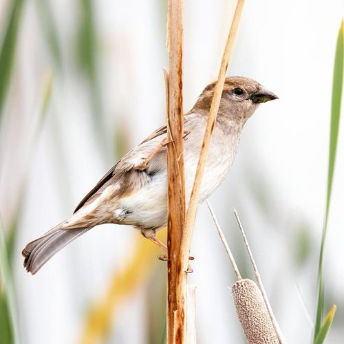 Little sparrow hanging out on a cattail Cattail Sparrow Igbirds Utbird Nature_shooters Nature Nature_addicts Nature_perfection