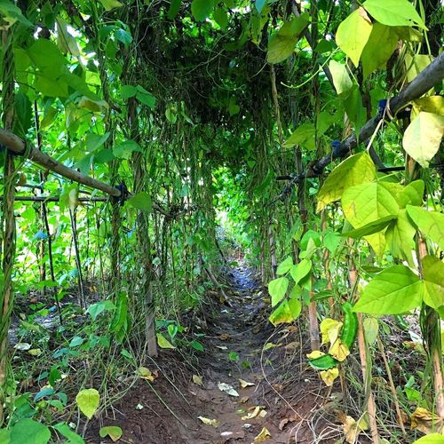 It's beans tunnel, seems like wander of nature.. Tree Green Color Growth Leaf Nature Outdoors Day Forest Beauty In Nature No People Branch Freshness Beans Tunnel Tunnel View