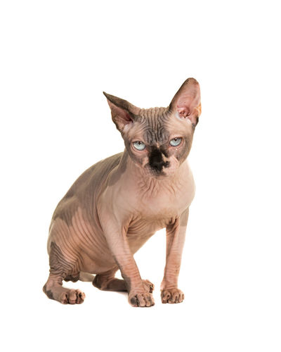 Sitting grumpy looking sphinx cat with blue eyes isolated at a white background Blue Eyes Looking At Camera Sitting Sphinx Cat Animal Themes Cat Cut Out Domestic Animals Domestic Cat Feline No Fun One Animal Pets Sphinx Sphynx Sphynx Cat Studio Shot White Background
