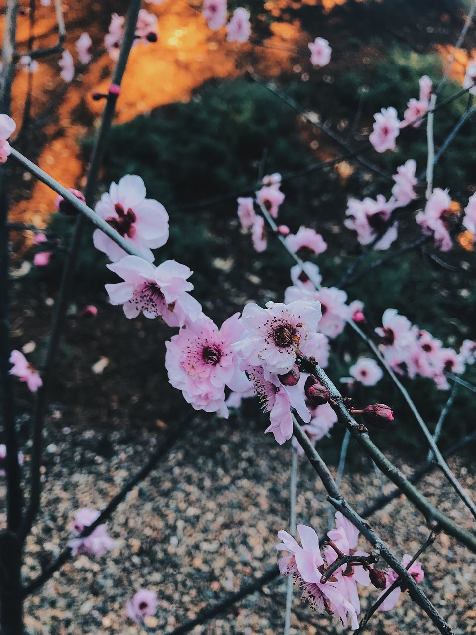 flowering plant, flower, fragility, plant, beauty in nature, freshness, vulnerability, growth, pink color, springtime, close-up, nature, blossom, focus on foreground, petal, twig, day, tree, no people, branch, cherry blossom, flower head, outdoors, cherry tree, pollen, spring