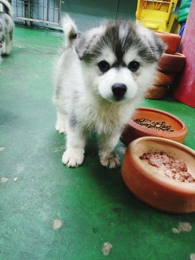 Husky Puppy Husky Domestic Animals Pets One Animal No People