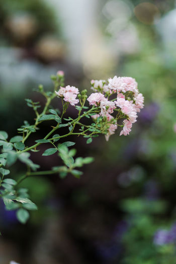 Flower Plant Flowering Plant Beauty In Nature Vulnerability  Fragility Growth Freshness Focus On Foreground Day Close-up Nature Selective Focus No People Outdoors Plant Part Leaf Flower Head Green Color Pink Color