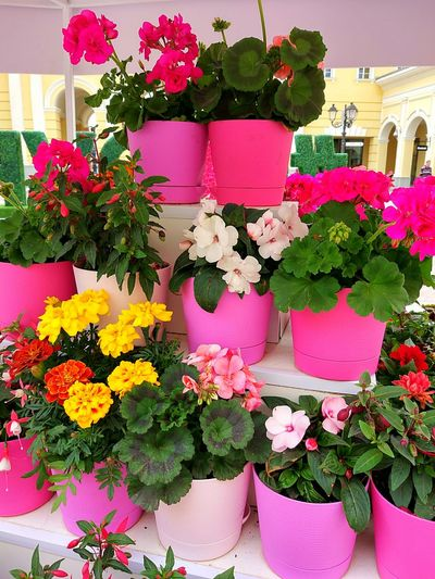 Flower Plant Pink Color Growth Day Multi Colored Street