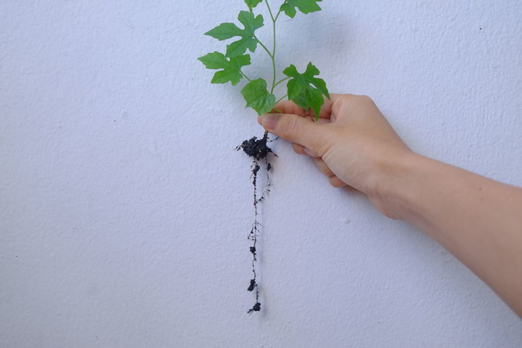 Midsection of person holding plant against white wall