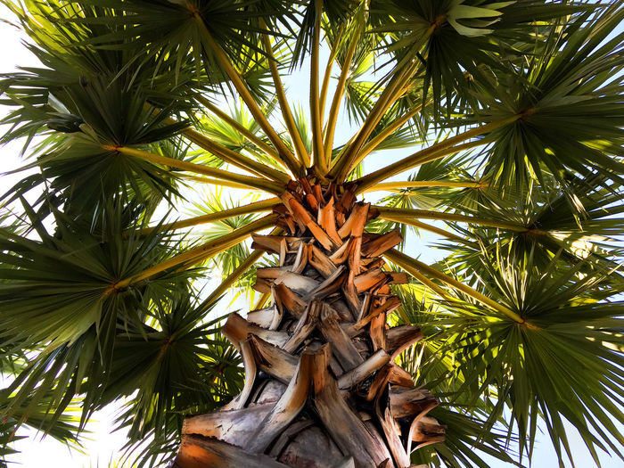 Palm Tree Perspective with Trunk, Branches and Leaves Tree Branches Beauty In Nature Close-up Day Green Color Growth Leaf Low Angle View Nature No People Outdoors Palm Tree Palm Trunk Sky Tree
