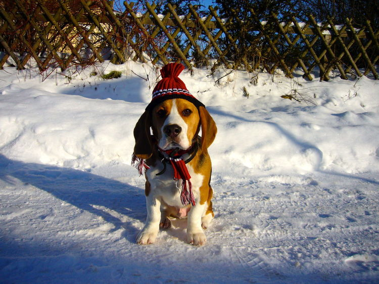 Moritz Animal Themes Beagle Christmastime Cold Temperature Day Dog Domestic Animals Looking At Camera Mammal Nature No People One Animal Outdoors Pets Portrait Snow Winter EyeEm Best Shots Best EyeEm Shot Portraits Animal Eye