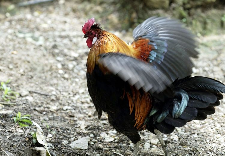 Side view of a rooster on field