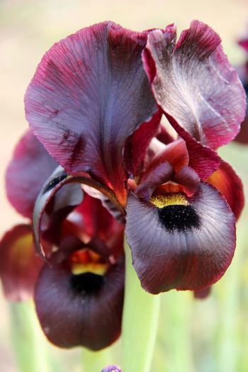 a purple flower in the field Iris Atropurpureum Flower Purple Plant Green Spring Beauty Of Nature Beautiful Growth Bloom Botany Day Light Fueld Nature Plants Outdoors