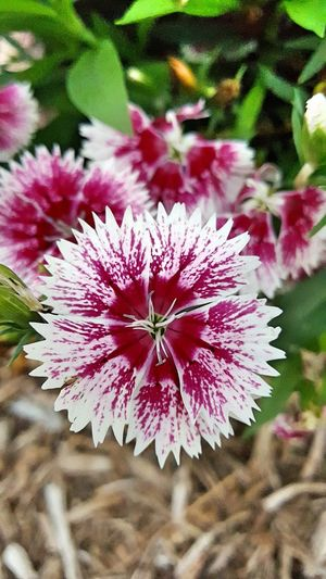 Sweet William flower. Fountain, Colorado Flowers, Nature And Beauty Flower Photography Blooming Blossom Colorful No Filter, No Edit, Just Me Full Colors  Flower Collection Flowerphotography Flowers :) Followme Greatshotz Epic Shot Photography
