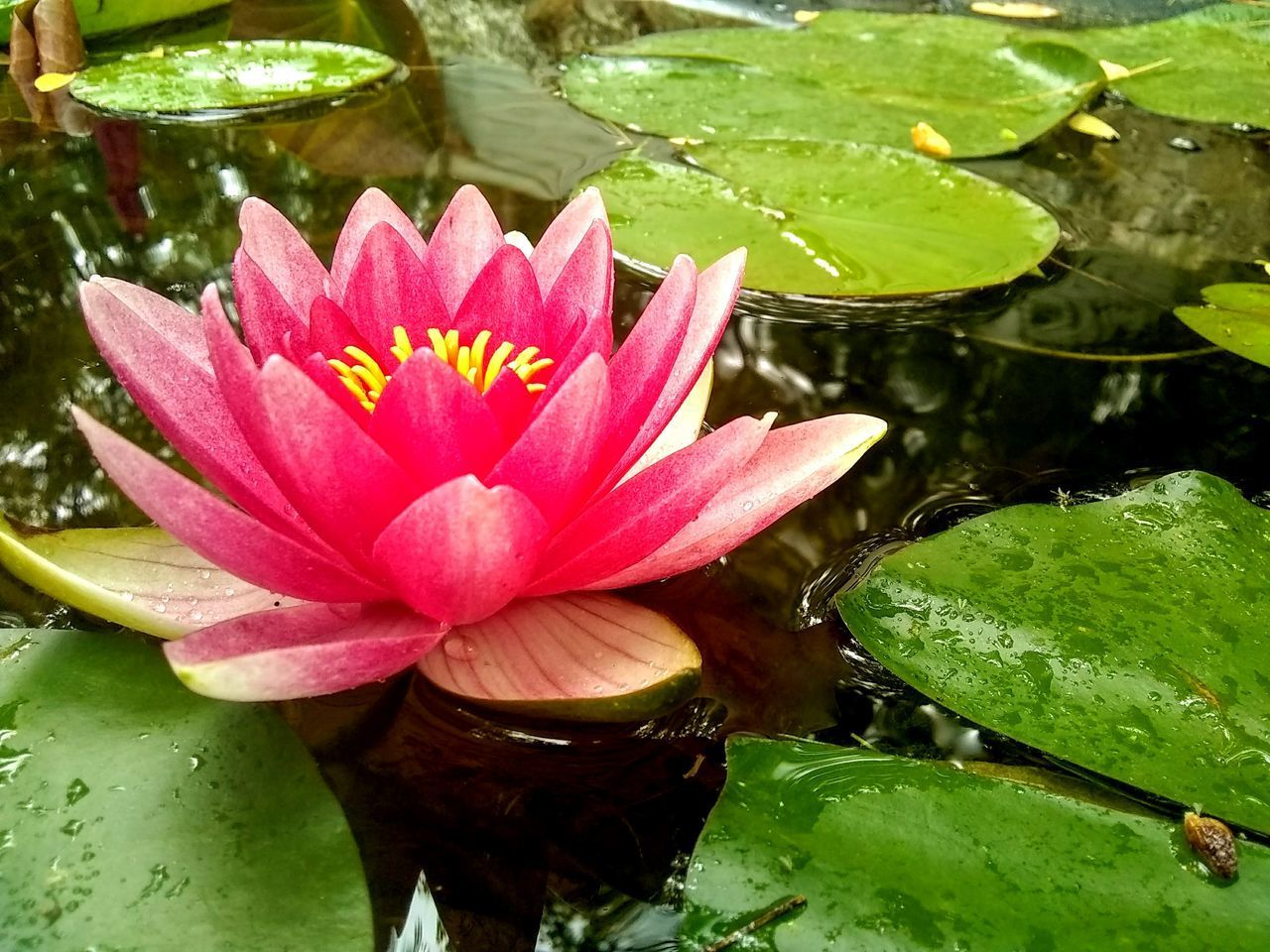 water, flower, beauty in nature, water lily, lake, flowering plant, plant, leaf, freshness, pink color, inflorescence, plant part, flower head, vulnerability, floating, growth, petal, fragility, floating on water, lotus water lily, no people, pollen, outdoors, leaves