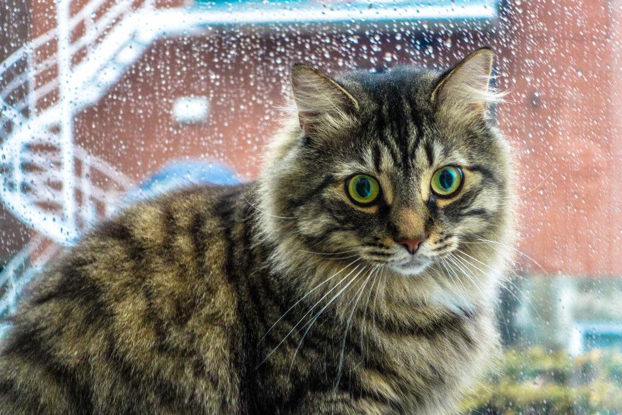 Close-Up Portrait Of Cat Against Wet Window