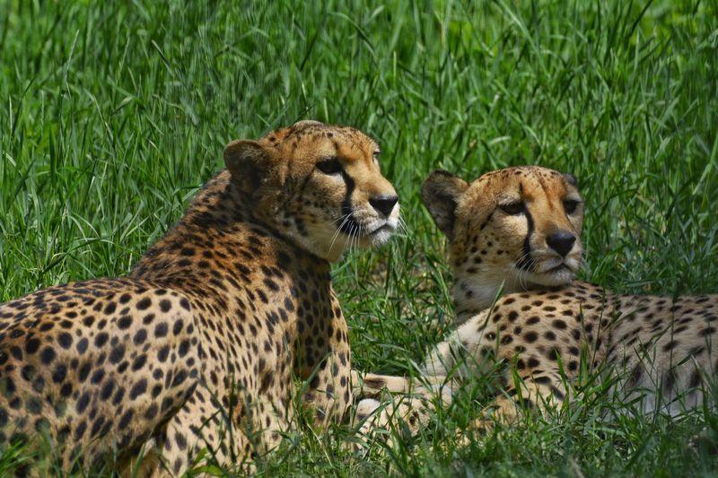 Гепарды зоопарк отдых животные животный мир