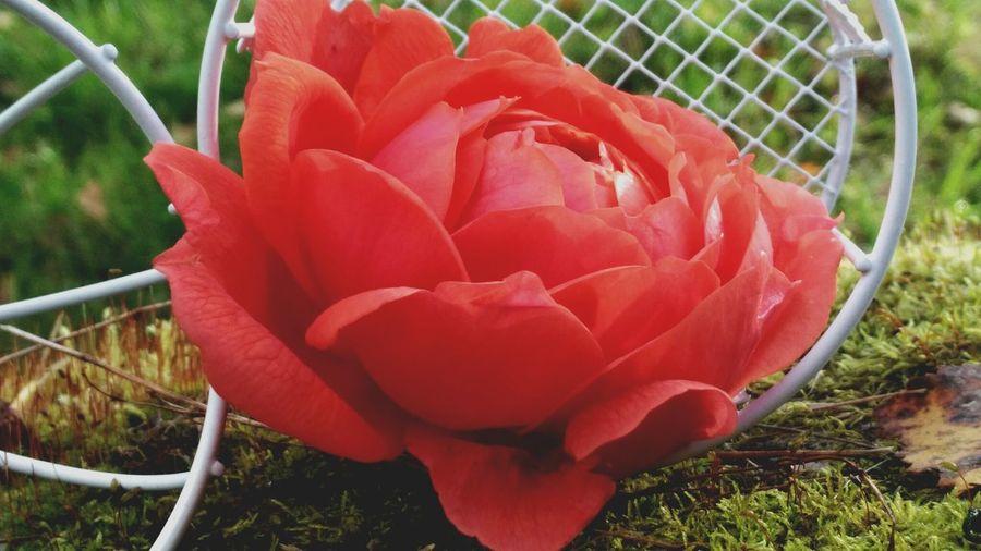 цветок розы EyeEmNewHere роза цветок  шикарная клетка Flower Head Flower Red Petal Close-up Grass Plant