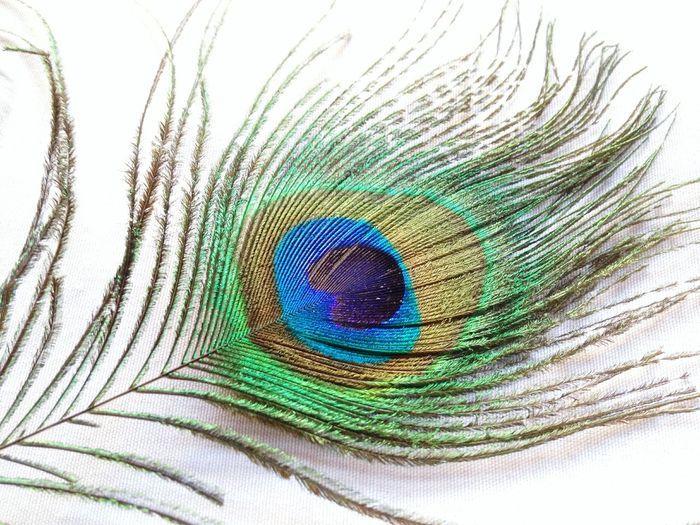 EyeEmNewHere Clickedwithiphone4s Multi Colored Fragility Close-up Peacock Feather No People Green Color White Background Beauty In Nature Nature Spectrum Outdoors Day EyeEmNewHere