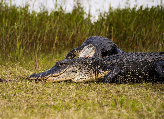 American alligators on field