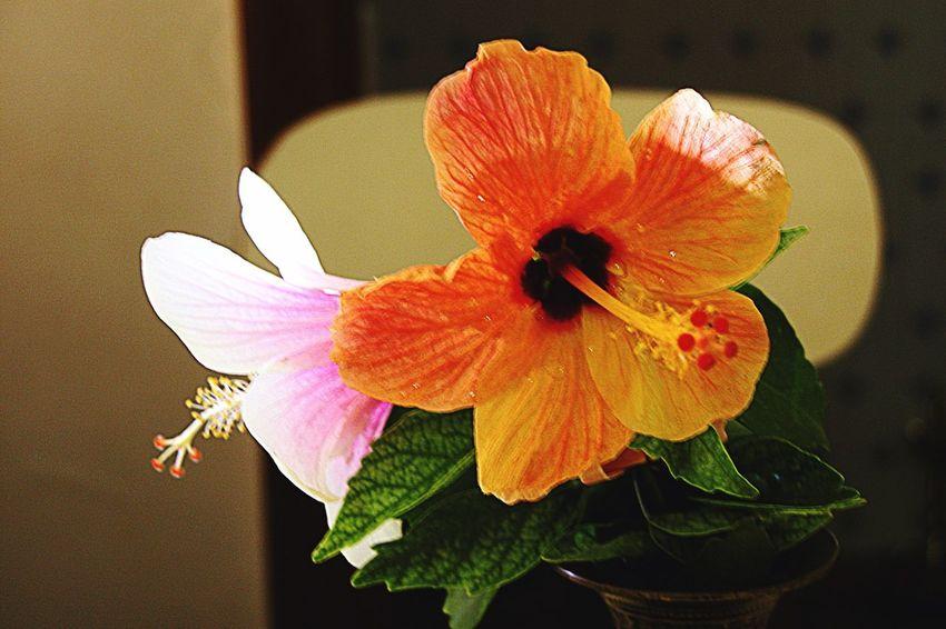 Spring Into Spring EyeEm Flower Flowers From My Garden Hibiscus 🌺