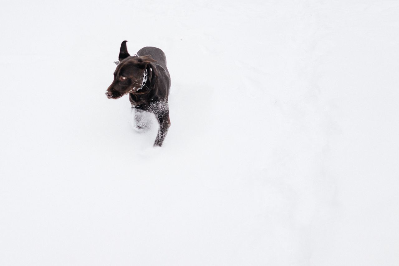 dog, one animal, pets, domestic animals, animal themes, mammal, cold temperature, winter, black color, snow, no people, nature, white background, outdoors, day