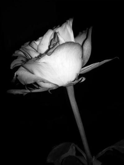 Blackandwhite B&w Perfekt Day Hanging Out Precision Black&white Rosa🌹 Rose🌹 Roses