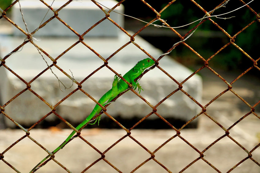 Chainlink Fence Close-up Florida Florida Keys Graveyard Lizard Lizard Green Mesh Wire Fence No People Outdoors Rusty Rusty Fence Green Green Iguana Key West Cemetery The Great Outdoors - 2017 EyeEm Awards